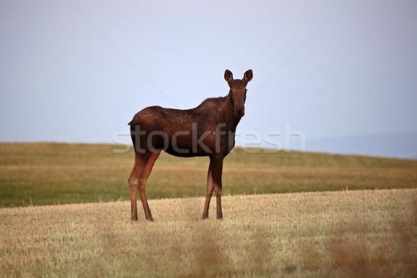 Feminino alce campo animais outono jovem Foto stock © pictureguy