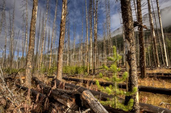 Incendios forestales Canadá nuevos crecimiento Foto stock © pictureguy