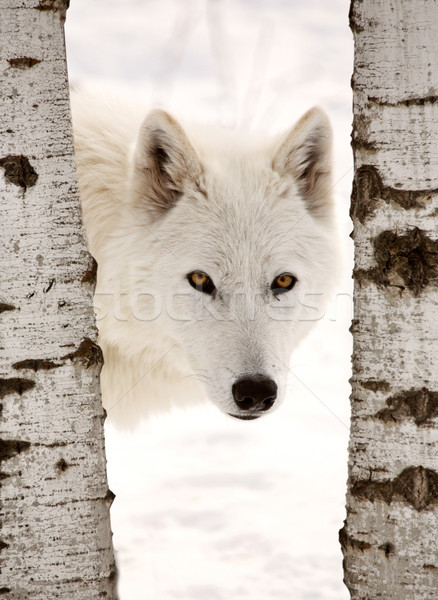 Arctic Wolf seen between two trees in winter Stock photo © pictureguy