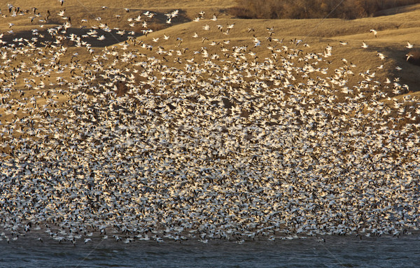 Nieve gansos lago Canadá libra vuelo Foto stock © pictureguy