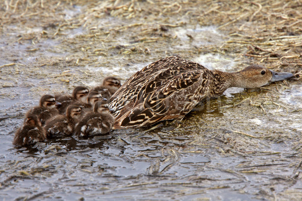 Stock photo: Female duck and ducklings hiding on shore of pothole