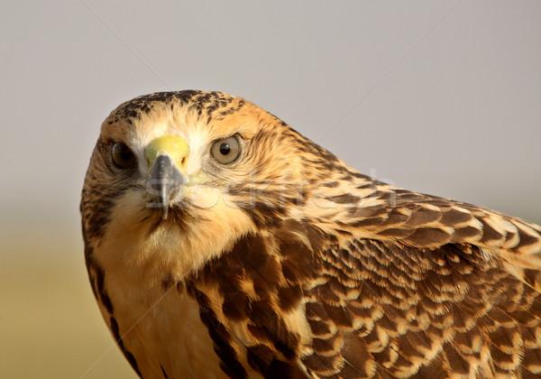 молодые ястреб живописный Саскачеван птица Сток-фото © pictureguy