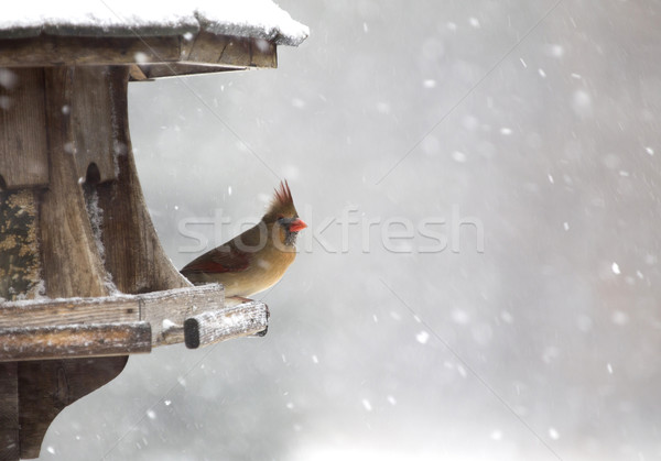 Cardinal at Bird Feeder Stock photo © pictureguy