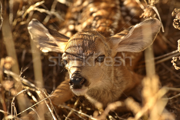 Newly born fawn hiding in a Saskatchewan field Stock photo © pictureguy