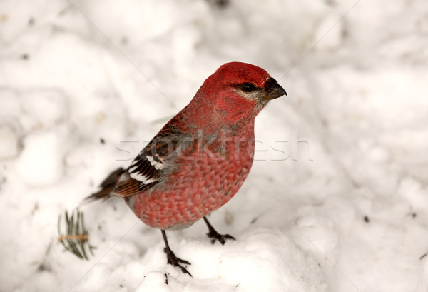 Red Crossbill on snow covered ground Stock photo © pictureguy