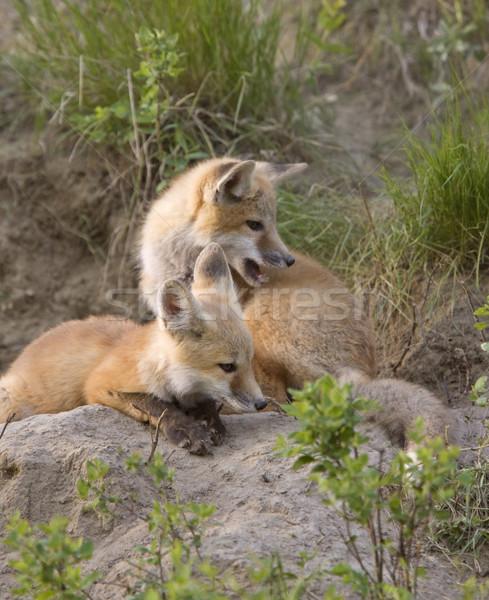 Fiatal róka készlet játszik Saskatchewan Kanada Stock fotó © pictureguy