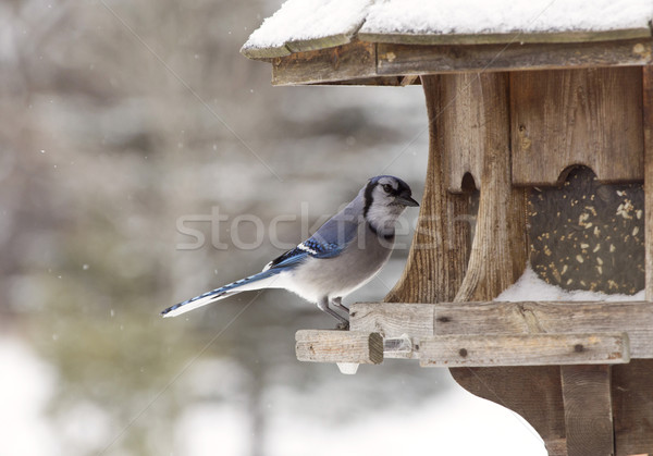 Blue Jay at Bird Feeder Winter Stock photo © pictureguy