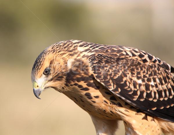 Jóvenes halcón escénico saskatchewan aves Foto stock © pictureguy