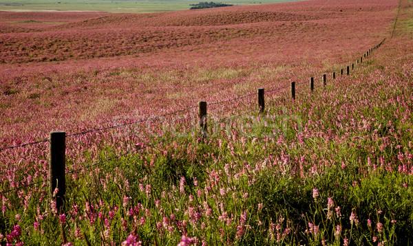 Flor-de-rosa alfafa saskatchewan Canadá Foto stock © pictureguy