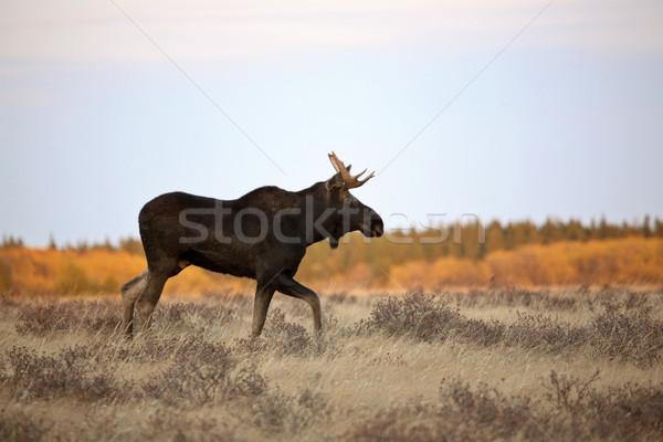 牛 ムース サイプレス 丘 公園 フィールド ストックフォト © pictureguy