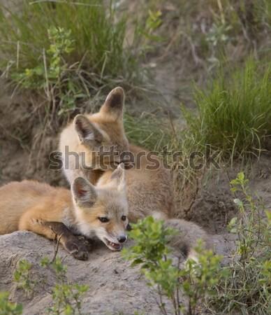 молодые Fox играет Саскачеван Канада Сток-фото © pictureguy