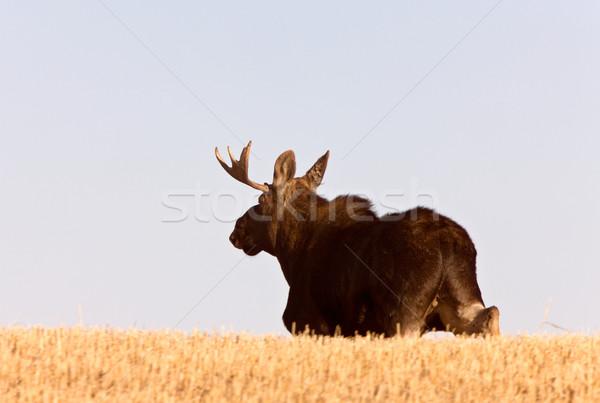 Stock fotó: Fiatal · bika · jávorszarvas · fut · préri · mező