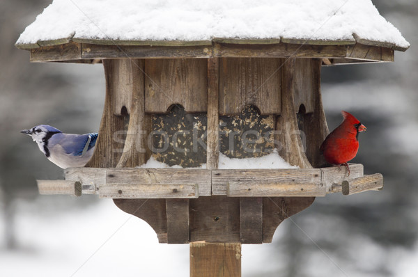 Red Cardinal and Blue Jay Stock photo © pictureguy