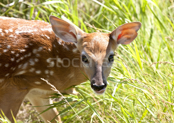 Baby Deer Doe Stock photo © pictureguy
