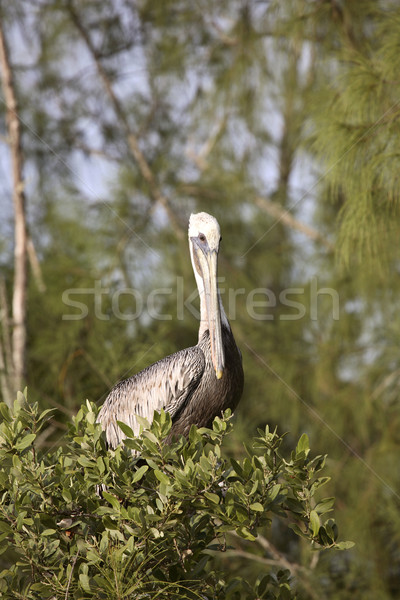 Brown Pelican perched on branch Stock photo © pictureguy
