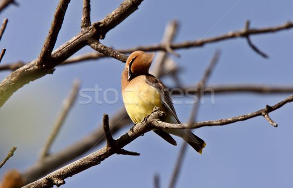 Cedar Waxwing in tree Stock photo © pictureguy