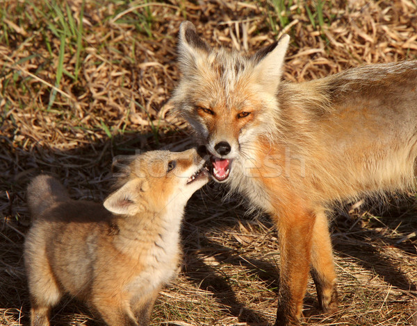 Red Fox vixen with pup on Hecla Island in Manitoba Stock photo © pictureguy