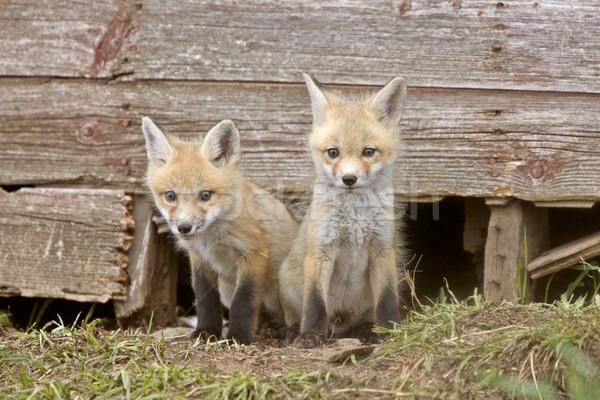 Fox Kits Stock photo © pictureguy