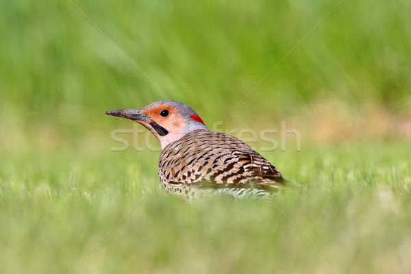 Northern Flicker in grass Stock photo © pictureguy