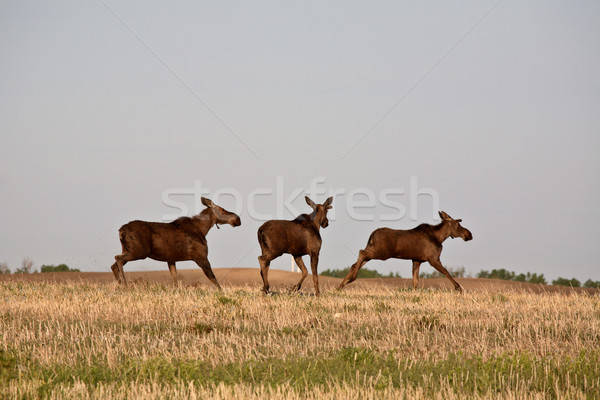 Female moose with male calves in Saskatchewan field Stock photo © pictureguy