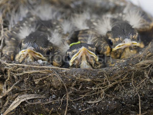 Baby nest saskatchewan Canada vogel jonge Stockfoto © pictureguy