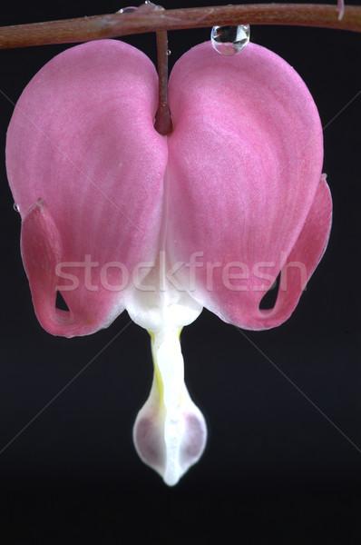 Macro bloeden hart bloem studio Stockfoto © pictureguy