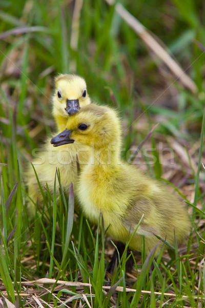 Bebé gansos hierba saskatchewan familia nino Foto stock © pictureguy