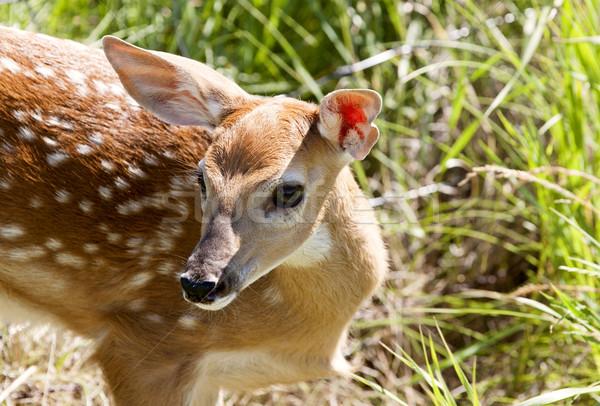 Stock photo: Baby Deer Doe