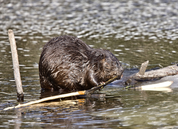 Beaver at Work Stock photo © pictureguy
