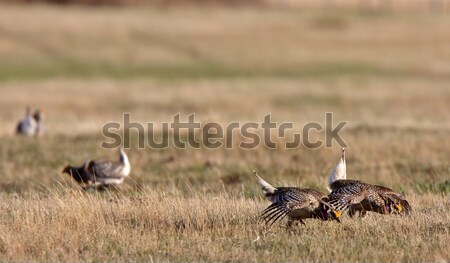 Sharp tailed Grouse at lek finding dominate male Stock photo © pictureguy