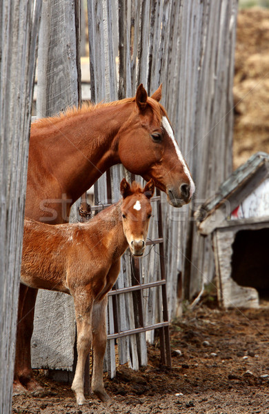 Mare and foal behind board fence Stock photo © pictureguy