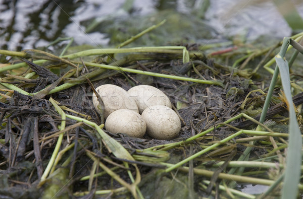 Horned Grebe Eggs Stock photo © pictureguy