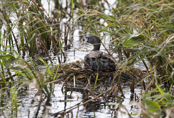 American Coot with baby in nest Stock photo © pictureguy