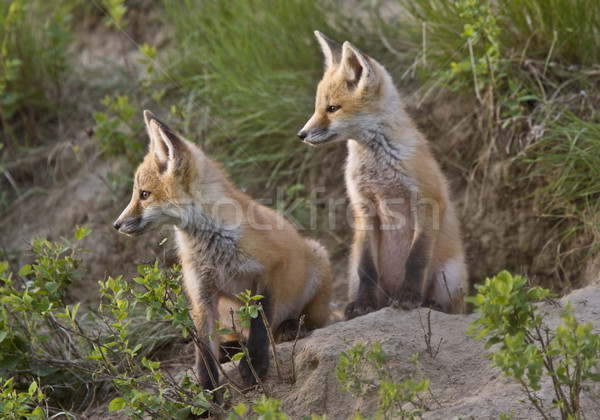 Сток-фото: молодые · Fox · играет · Саскачеван · Канада