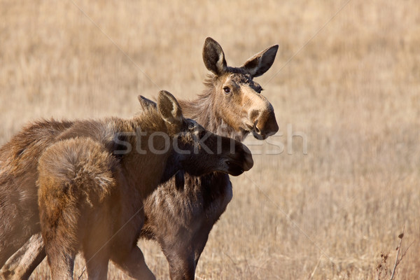 Jávorszarvas tehén Saskatchewan Kanada természet tájkép Stock fotó © pictureguy
