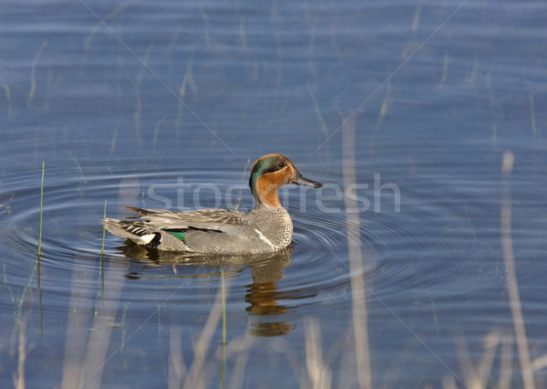 Green Winged Teal Stock photo © pictureguy