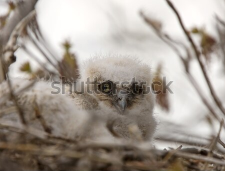 Great Horned Owl Babies in Nest Stock photo © pictureguy
