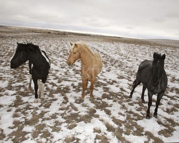 Three horses in winter pasture Stock photo © pictureguy