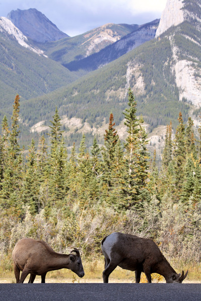 Bighorn Sheep in the Rockies of Alberta Stock photo © pictureguy