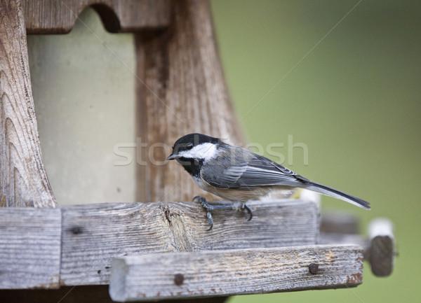 カナダ 小 鳥 オンタリオ 自然 黒 ストックフォト © pictureguy
