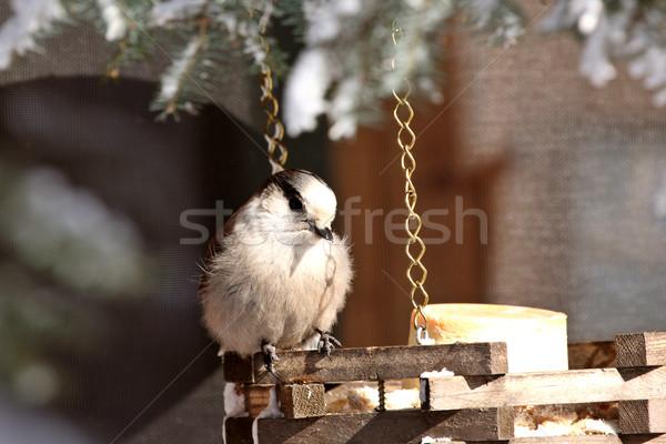 Stock photo: Gray Jay at feeder