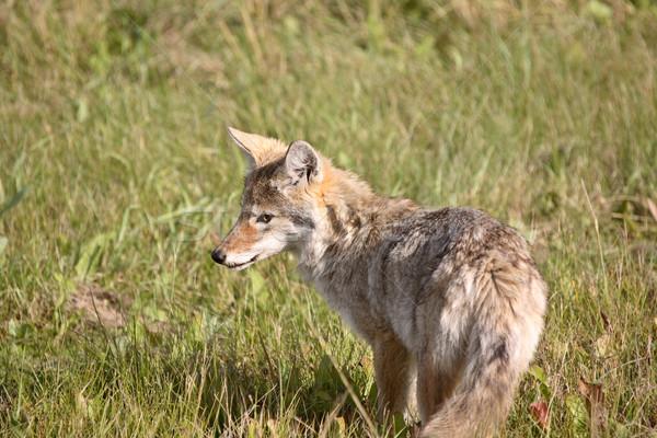 Coyote pup in Alberta Stock photo © pictureguy