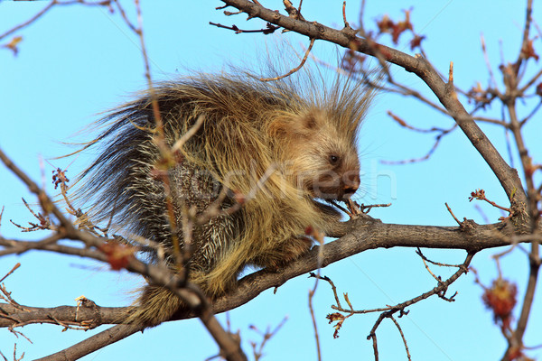 Porcupine in tree Saskatchewan Canada Stock photo © pictureguy