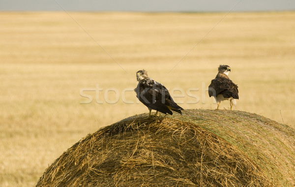 Swainson Hawks on Hay Bale Stock photo © pictureguy
