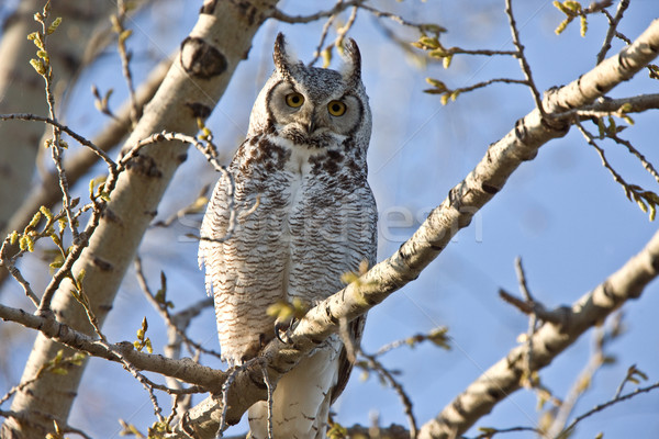 Great Horned Owl Saskatchewan  Stock photo © pictureguy