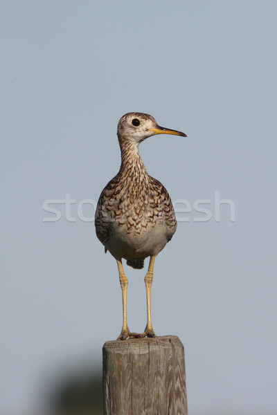 Upland Sandpiper on fence post Stock photo © pictureguy