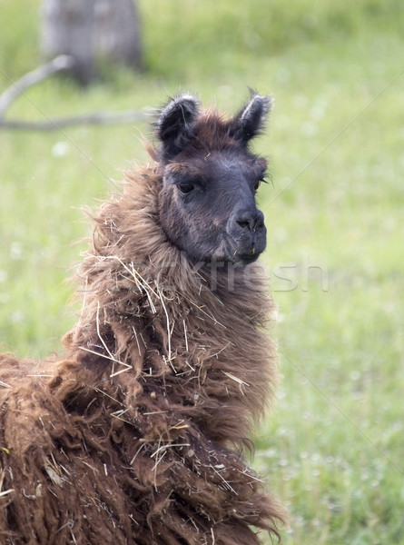 Llama Alpaca  Stock photo © pictureguy