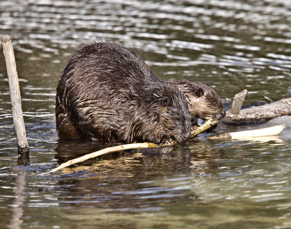 Stock photo: Beaver at Work