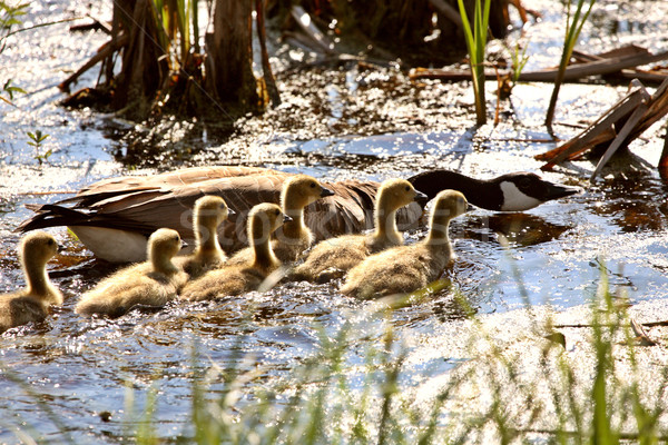 Canada Goose goslings with parent in roadside pond Stock photo © pictureguy