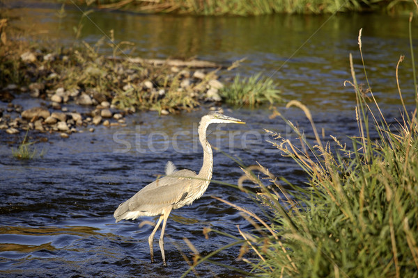 Great Blue Heron in Moose Jaw River Stock photo © pictureguy